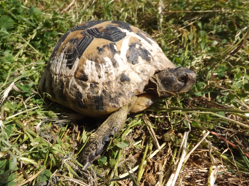 Gea Chelonia Foundation: Tortoise Conservation in Bulgaria